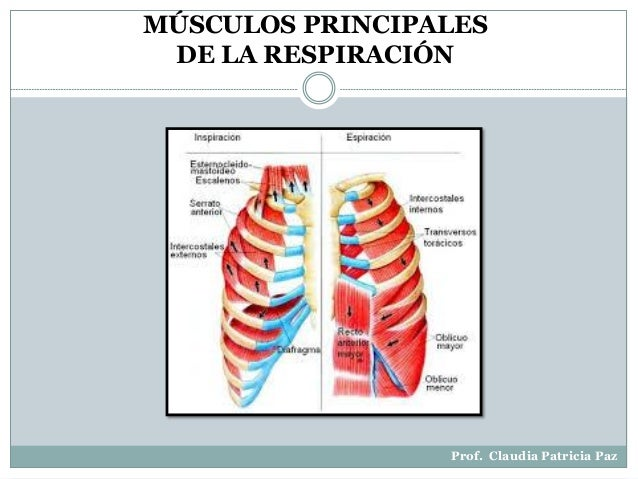 Músculos principales del proceso respiratorio
