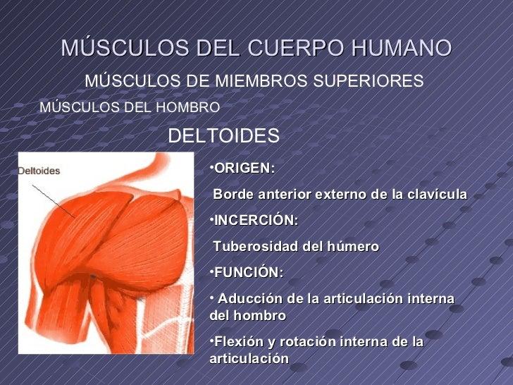 Músculos de las extremidades superiores.