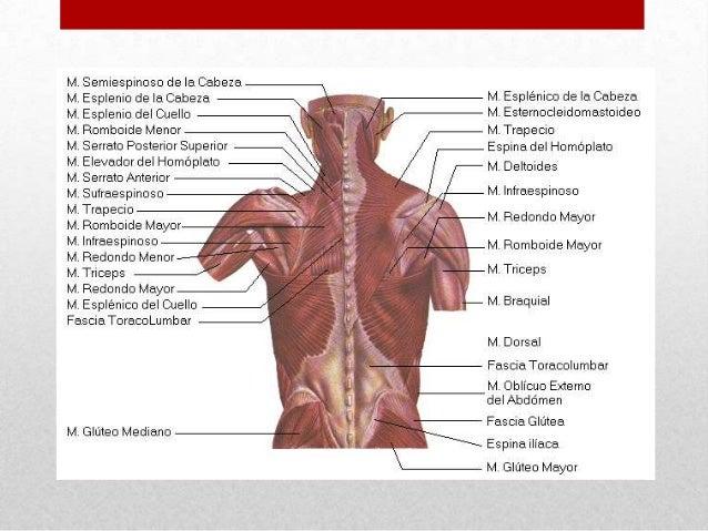 Músculos del dorso y el tórax