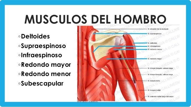 Músculos del hombro y brazo