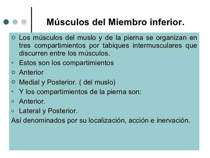 Músculos del Miembro inferior. <ul><li>Los músculos del muslo y de la pierna se organizan en tres compartimientos por tabi...