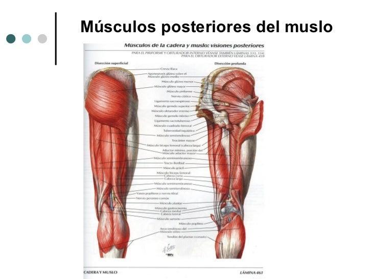 Hermosa Posterior Músculos Del Muslo Bosquejo - Anatomía de Las ...