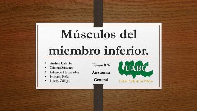 Músculos del miembro inferior. Unidad Valle de las Palmas • Andrea Calvillo • Cristian Sánchez • Eduardo Hernández • Horac...