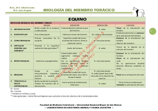MÚSCULOS DEL MIEMBRO TORÁCICO (ANTERIOR) DEL EQUINO.