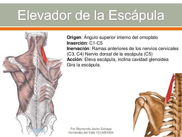 Musculos de la Caja Torácica