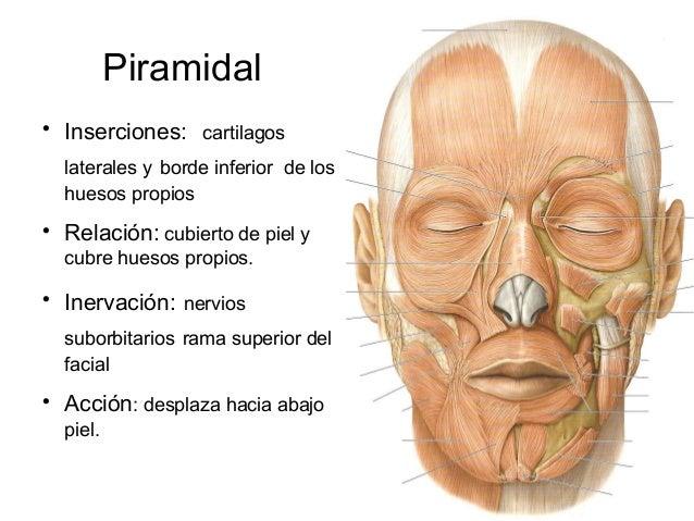 Piramidal    Inserciones: cartilagos    laterales y borde inferior de los    huesos propios    Relación: cubierto de pie...