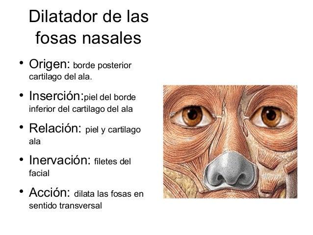 Dilatador de las     fosas nasales    Origen: borde posterior    cartilago del ala.    Inserción:piel del borde    infer...