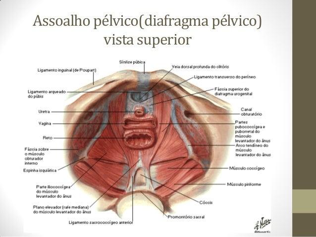 Músculos do períneo e assoalho pélvico