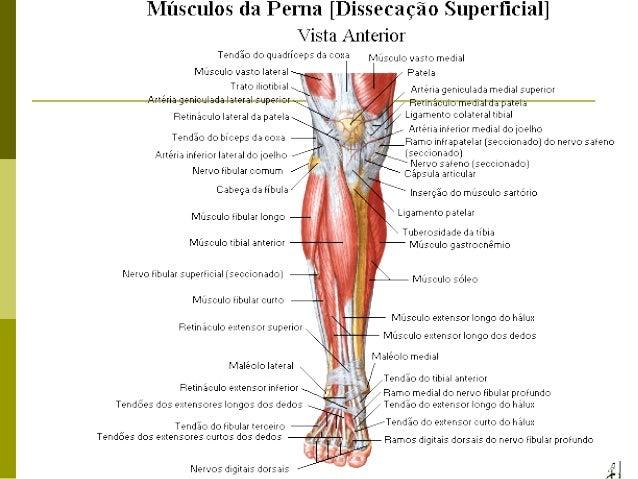 Musculos superficiais da facetronco e dos membros superiores e inferiores 5