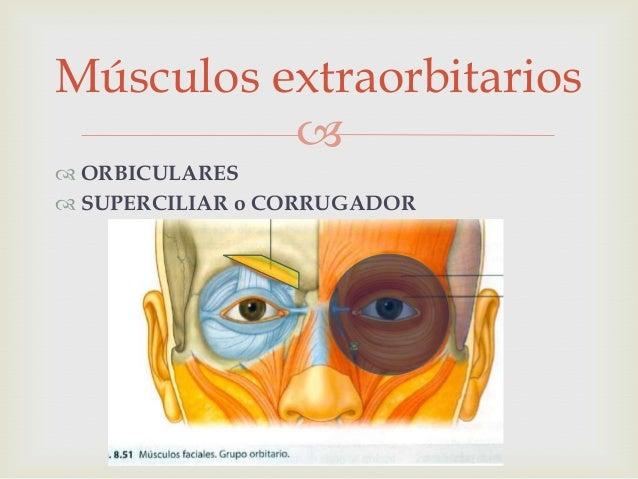 Músculos extraorbitarios Slide 2