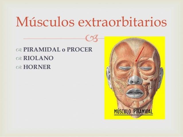 Músculos extraorbitarios Slide 3