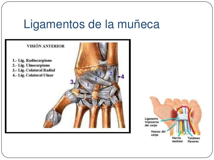 Asombroso Ligamentos Anatomía De La Muñeca Imagen - Anatomía de Las ...