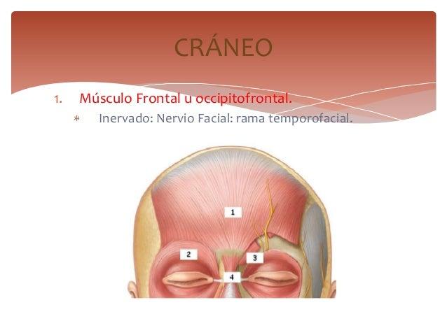 1. Músculo Frontal u occipitofrontal.Inervado: Nervio Facial: rama temporofacial.CRÁNEO