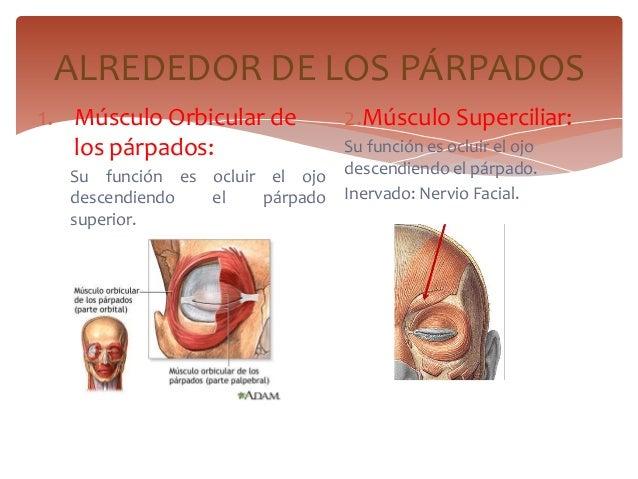 1. Músculo Orbicular delos párpados:Su función es ocluir el ojodescendiendo el párpadosuperior.2.Músculo Superciliar:Su fu...