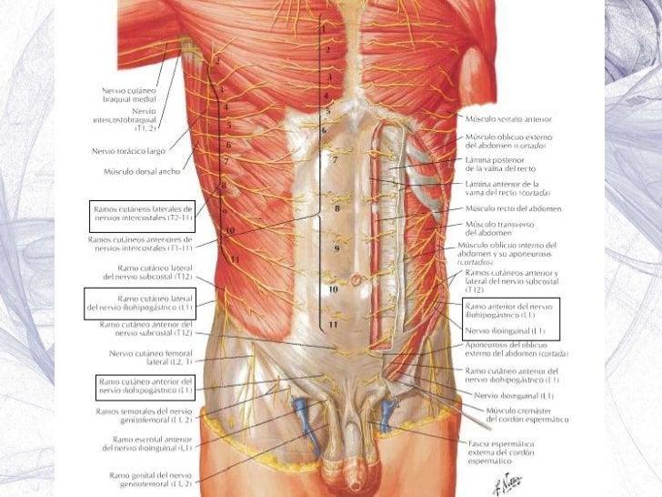 músculos fascias y aponeurosis del abdomen