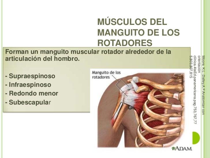 Músculos hombro y brazo
