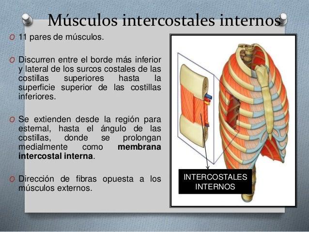 Músculos intercostales
