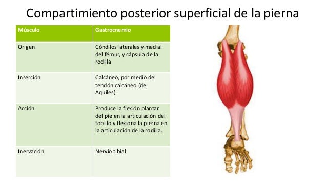 El embarazo el músculo gastrocnemio - Musculo gemelo y soleo ...