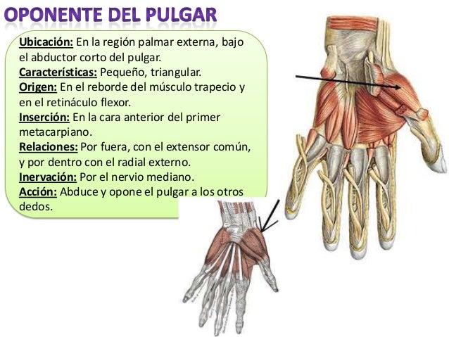Músculos miembro superior