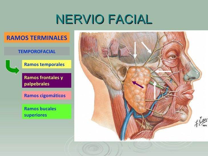 Músculos, nervios y arterias faciales