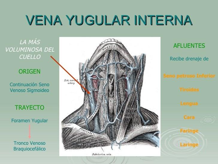 Contemporáneo Anatomía Vena Yugular Interna Modelo - Anatomía de Las ...