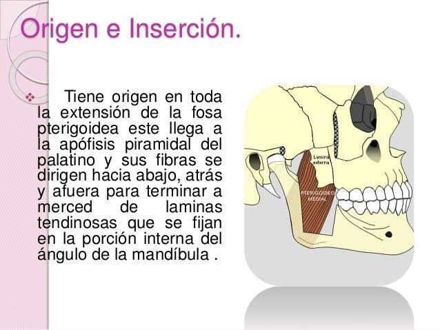 Músculos pterigoideo interno Slide 3