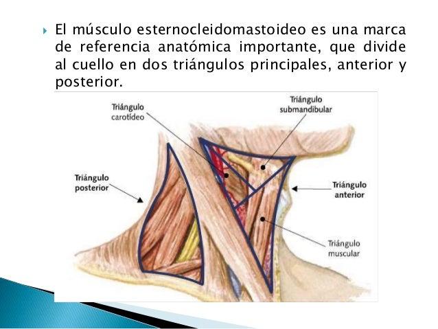 Músculos que mueven la cabeza