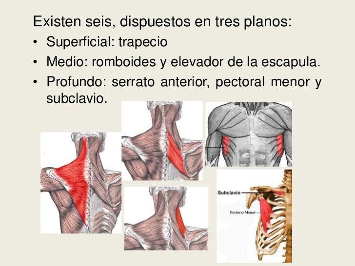 Músculos que unen al tronco con la cintura escapular rm9