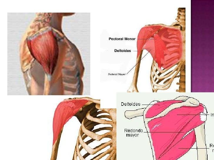 Anatomia estructural eq 1 tema 2 musculo de la cintura escapular y ho…