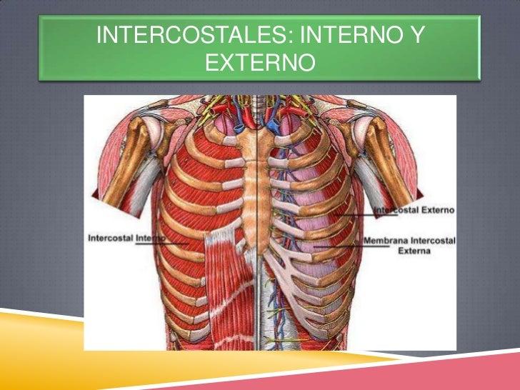 Músculos región costal