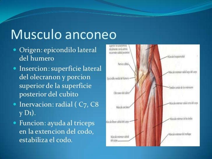 Músculos superficiales de la región posterior del antebrazo