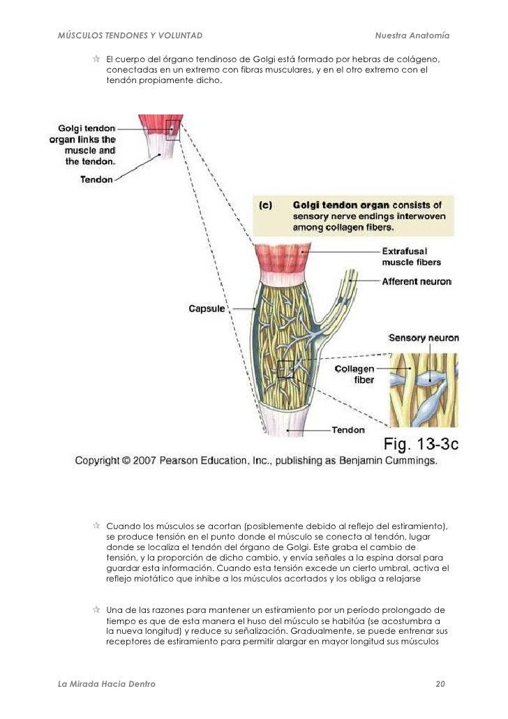 Músculos, tendones y voluntad