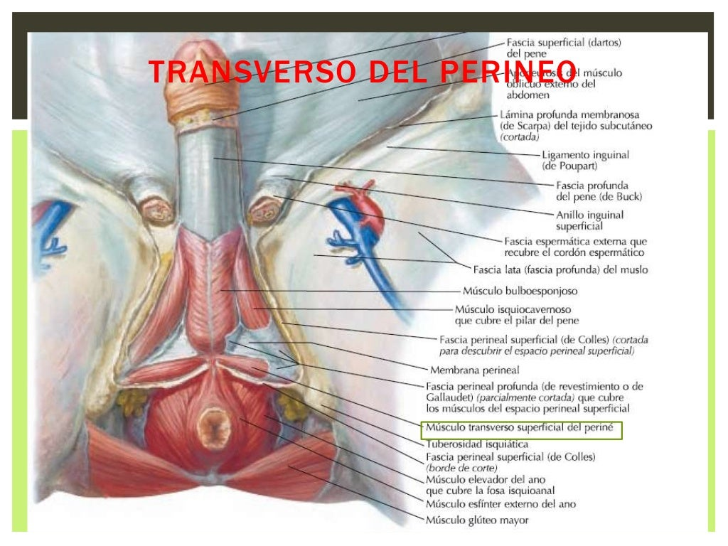 Dorable Definición Anatomía Superficial Fotos - Imágenes de Anatomía ...