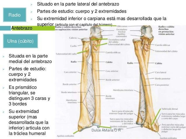 Músculos y huesos del miembro superior