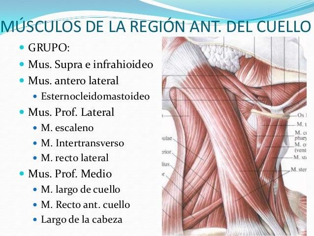 Músculos y triangulos del cuello