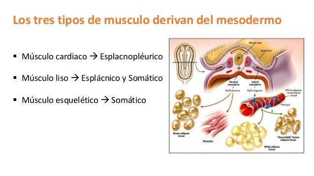 Histología Músculo: Esqueletico, Cardiaco y Liso