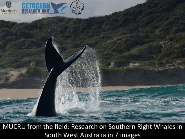 MUCRU  from  the  field:  Research  on  Southern  Right  Whales  in   South  West  Australia  in...