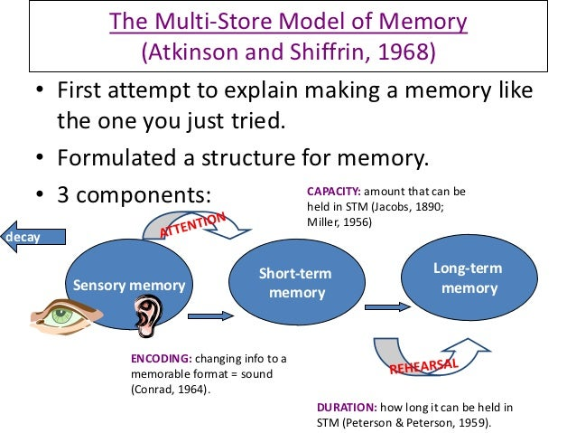 the three information stores of the atkinson model of memory The focus of this model is on how information is stored in memory the model  in  addition to the stage theory model of information processing, there are three  more  models have been proposed as alternatives to the atkinson-shiffrin  model:.
