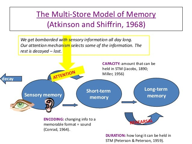 the three information stores of the atkinson model of memory Whole brain model left brain and right in other words, you have to put in effort to get the information in to memory three the way we store information in.
