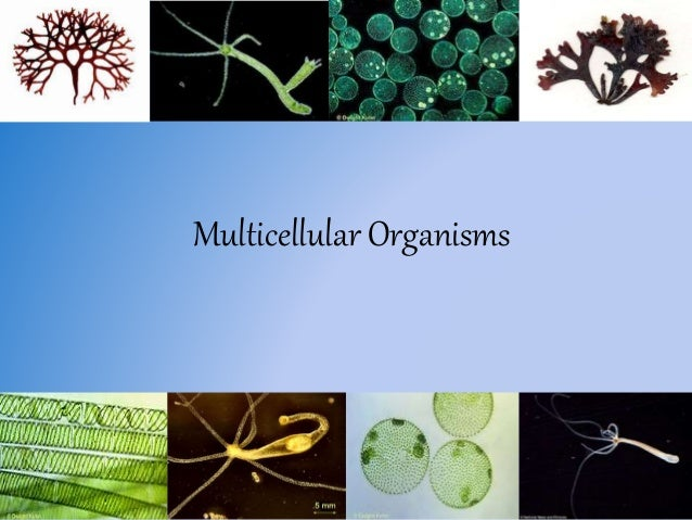 Is aspergillus single or multicellular