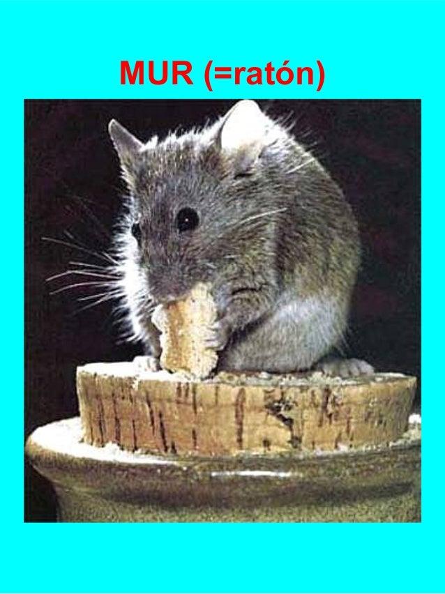 MUR (=ratón)