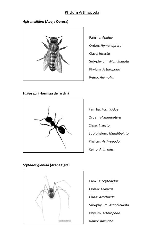 Phylum ArthropodaApis mellifera (Abeja Obrera)                                       Familia: Apidae                      ...