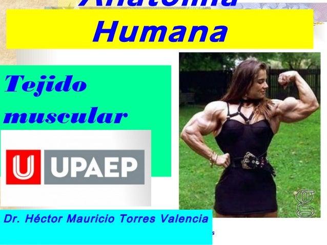 Anatomía  Humana  Tejido  muscular  Dr. Héctor Mauricio Torres Valencia  Dr. Héctor Mauricio Torres  Valencia