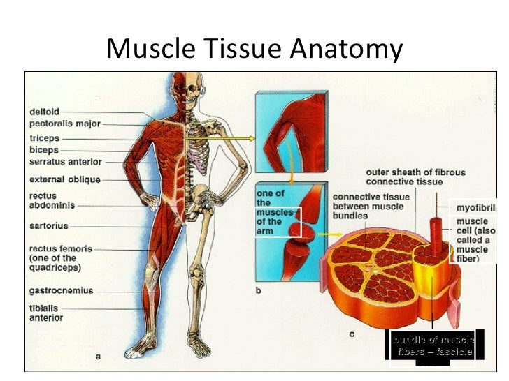 Muscle Fiber Anatomy Choice Image Human Body Anatomy