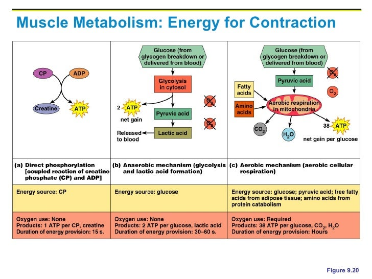 Muscle Energy Systems