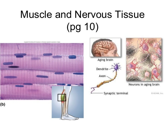 Muscle and Nervous Tissue (pg 10)