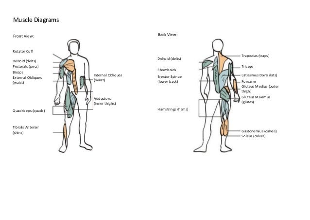 Muscle And Skeleton Diagrams 1st Stage