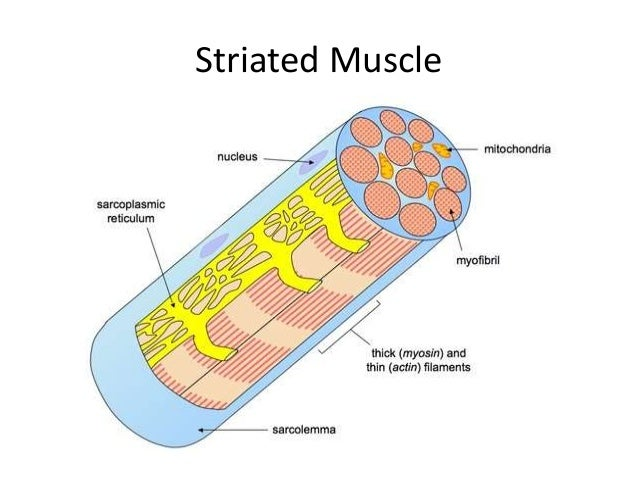 Striated Muscle Cell Diagram - Wiring Diagram •