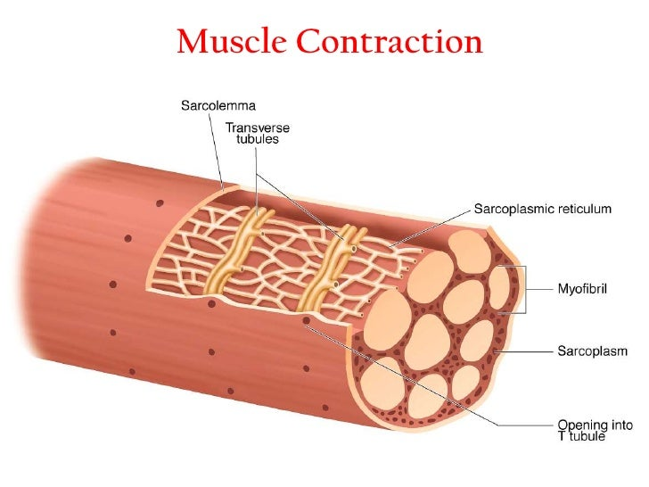mechanism of muscle contraction pdf