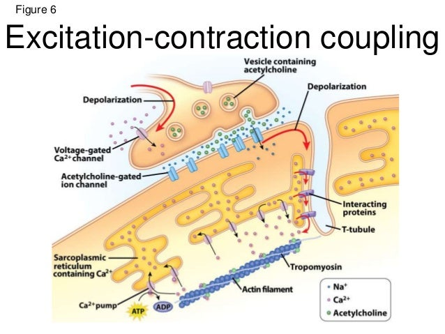 excitation contraction coupling events skeletal muscle Iv – excitation-contraction coupling in skeletal muscle - lászló csernoch and   this chapter draws an up-to-date picture of the events that occur between t-.